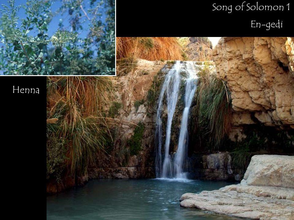 En-gedi Henna Song of Solomon 1