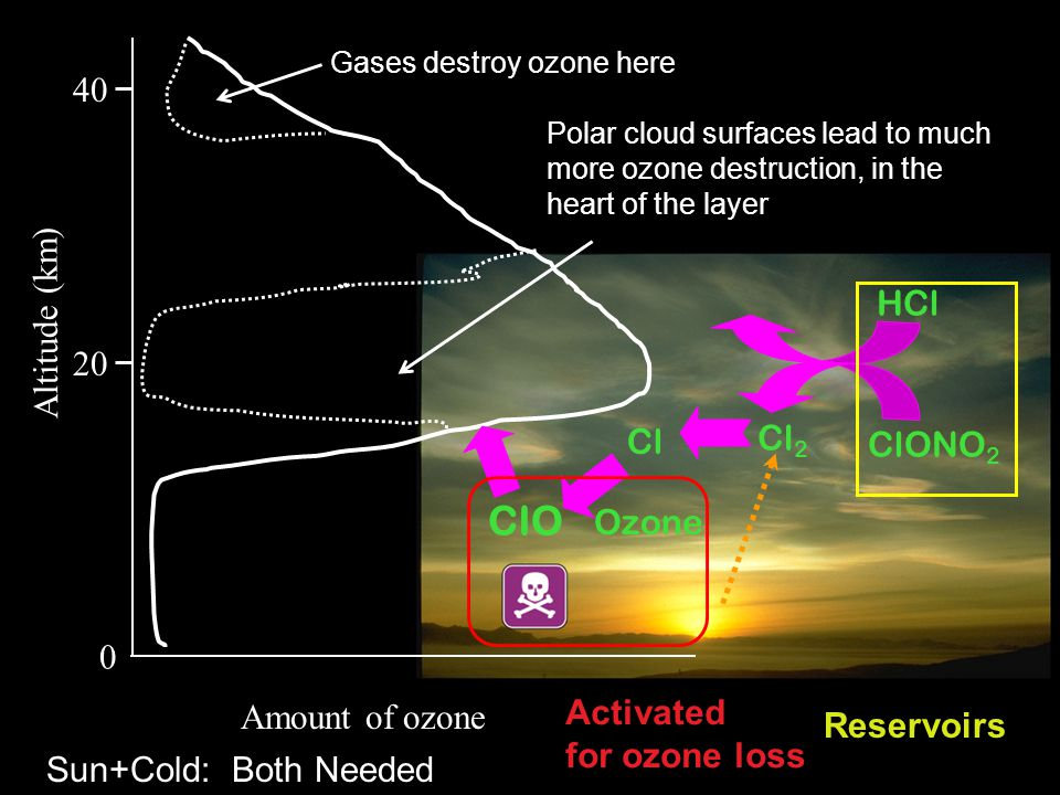 20 HCl ClONO 2 Cl 2 Polar cloud surfaces lead to much more ozone destruction, in the heart of the layer Altitude (km) 40 Gases destroy ozone here Amount of ozone 20 0 Cl Ozone ClO Reservoirs Activated for ozone loss Sun+Cold: Both Needed