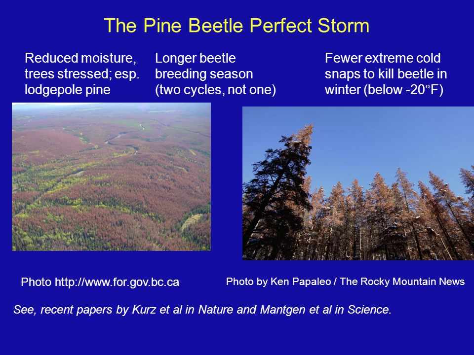 The Pine Beetle Perfect Storm Photo http://www.for.gov.bc.ca Reduced moisture, trees stressed; esp.
