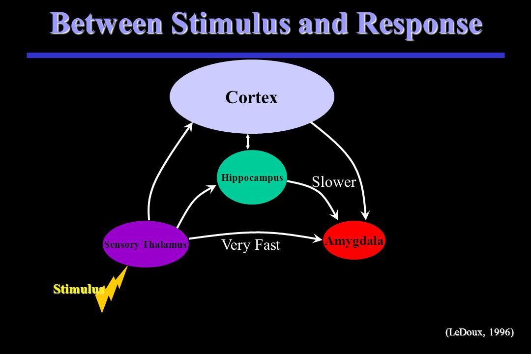 Between Stimulus and Response Stimulus S Stimulus Sensory Thalamus Amygdala Very Fast (LeDoux, 1996 (LeDoux, 1996)