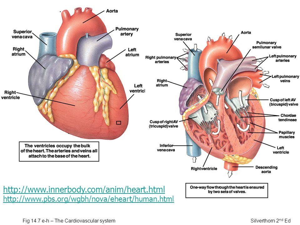 Fig 14.7 e-h – The Cardiovascular system Silverthorn 2 nd Ed http://www.innerbody.com/anim/heart.html http://www.pbs.org/wgbh/nova/eheart/human.html