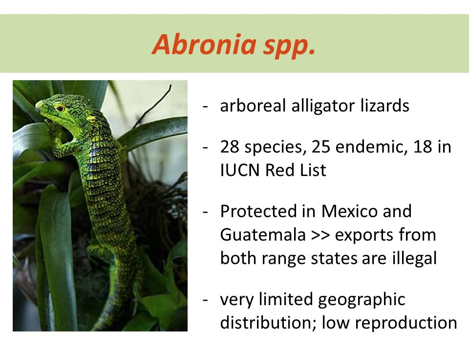 Abronia spp. -arboreal alligator lizards -28 species, 25 endemic, 18 in IUCN Red List -Protected in Mexico and Guatemala >> exports from both range st