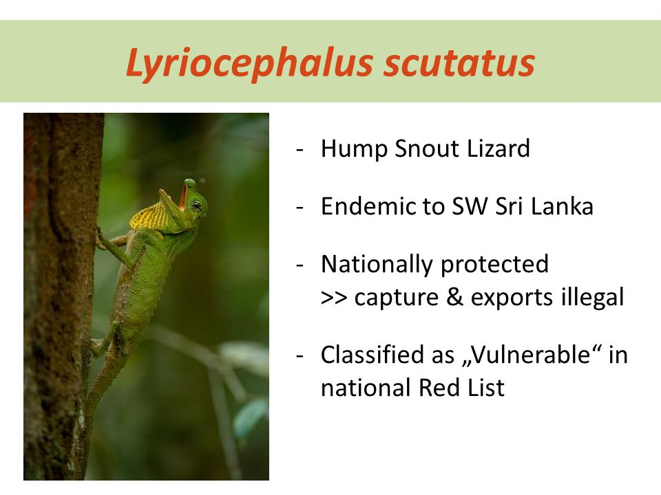"Lyriocephalus scutatus -Hump Snout Lizard -Endemic to SW Sri Lanka -Nationally protected >> capture & exports illegal -Classified as ""Vulnerable in national Red List"