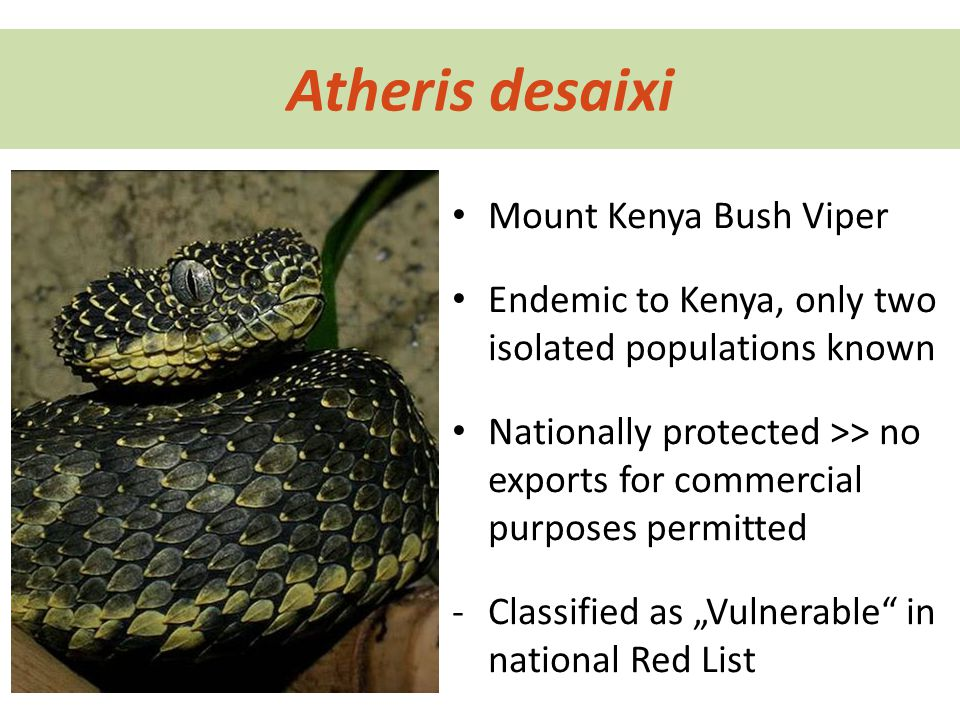 "Atheris desaixi Mount Kenya Bush Viper Endemic to Kenya, only two isolated populations known Nationally protected >> no exports for commercial purposes permitted -Classified as ""Vulnerable in national Red List"