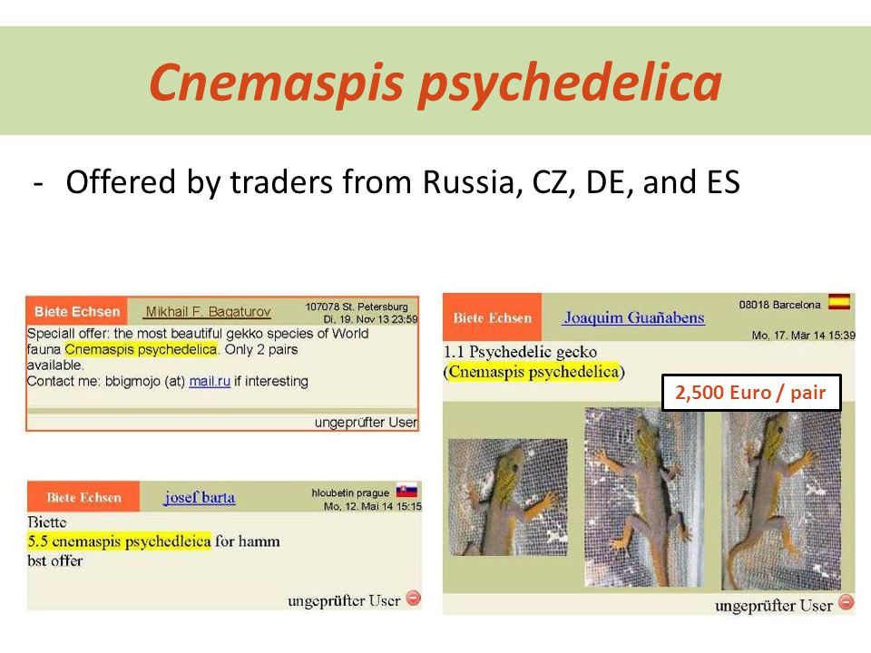 Cnemaspis psychedelica -Offered by traders from Russia, CZ, DE, and ES 2,500 Euro / pair
