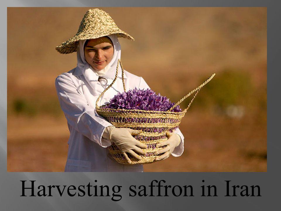 Harvesting saffron in Iran