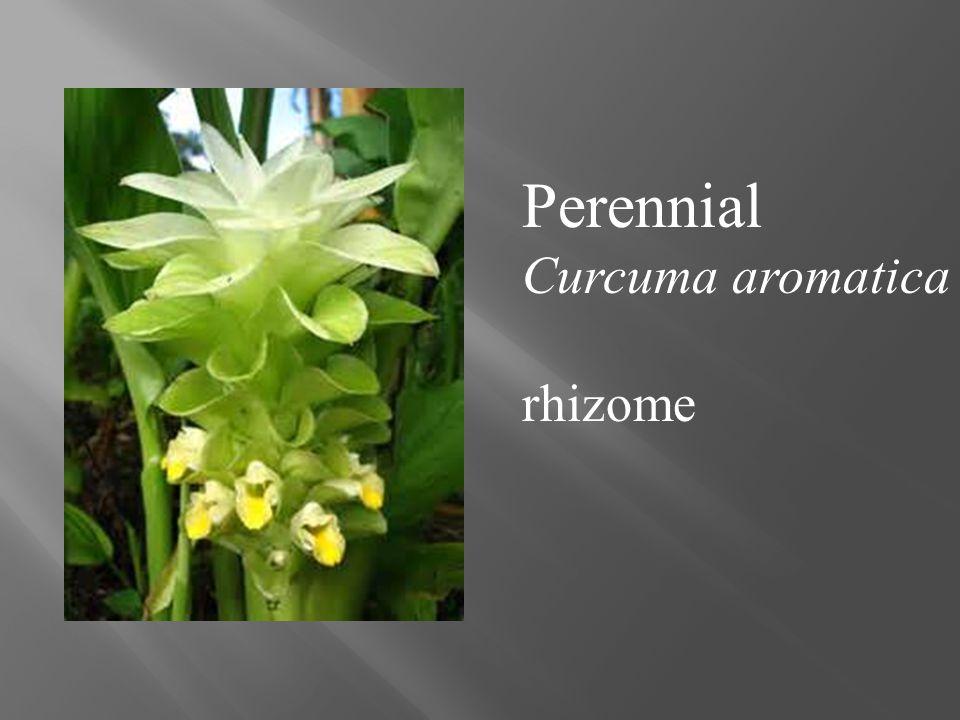 Perennial Curcuma aromatica rhizome