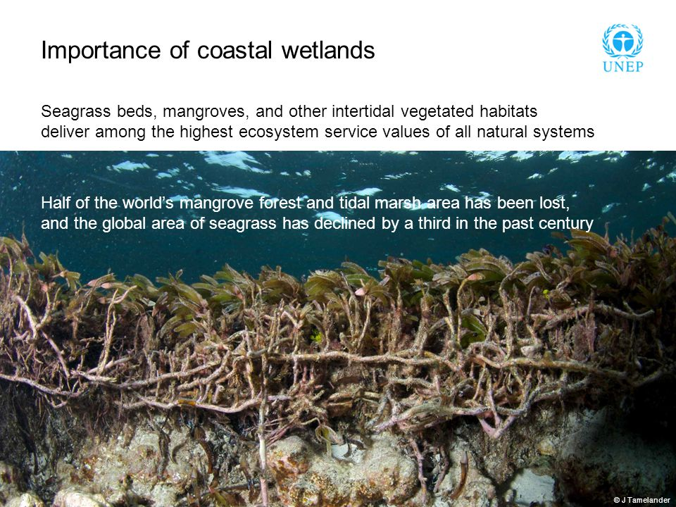 Importance of coastal wetlands Seagrass beds, mangroves, and other intertidal vegetated habitats deliver among the highest ecosystem service values of all natural systems Half of the world's mangrove forest and tidal marsh area has been lost, and the global area of seagrass has declined by a third in the past century © J Tamelander