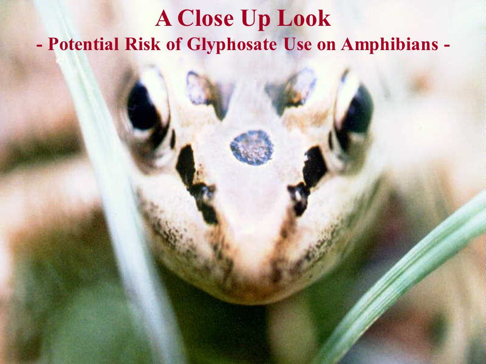 A Close Up Look - Potential Risk of Glyphosate Use on Amphibians -