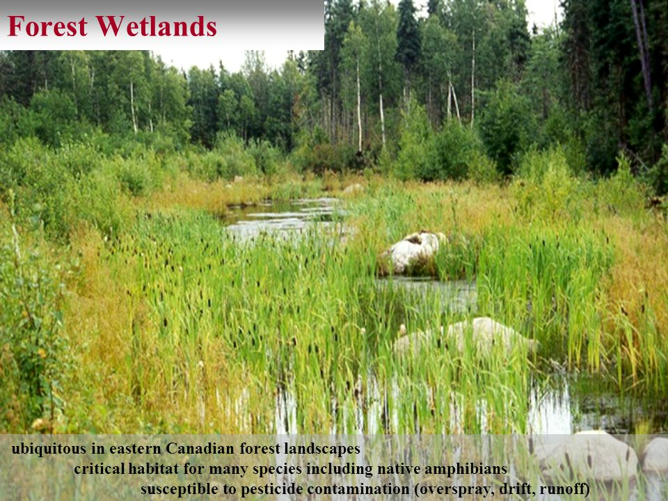 Forest Wetlands ubiquitous in eastern Canadian forest landscapes critical habitat for many species including native amphibians susceptible to pesticid