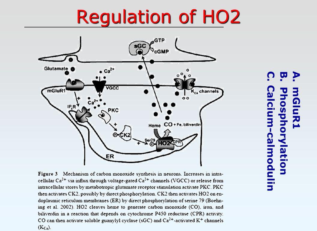 Regulation of HO2 A. mGluR1 B. Phosphorylation C. Calcium-calmodulin
