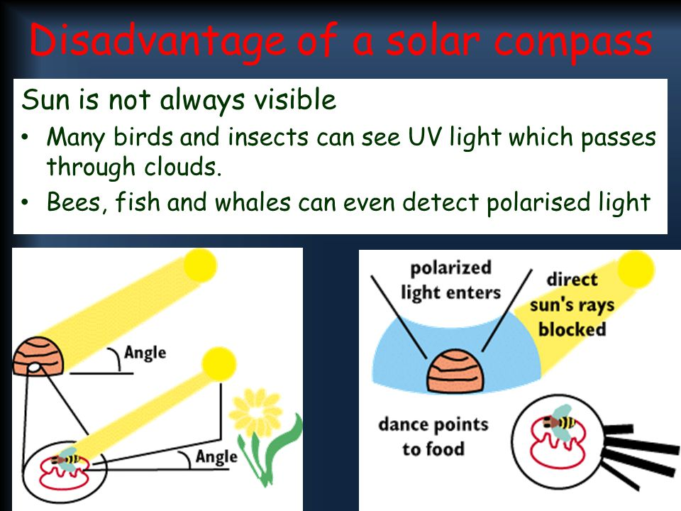 Disadvantage of a solar compass Sun is not always visible Many birds and insects can see UV light which passes through clouds. Bees, fish and whales c