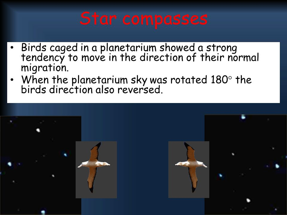 Star compasses Birds caged in a planetarium showed a strong tendency to move in the direction of their normal migration. When the planetarium sky was