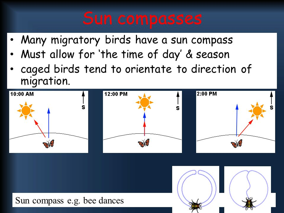 Sun compasses Many migratory birds have a sun compass Must allow for 'the time of day' & season caged birds tend to orientate to direction of migratio