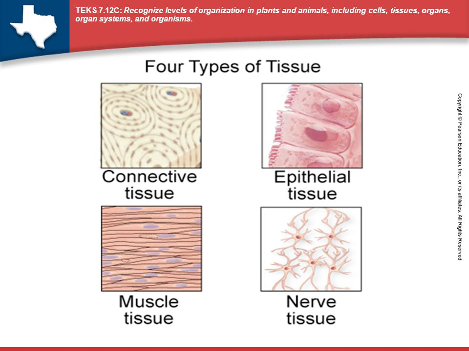 1.Recognize Levels of Organization What is the relationship between cells and tissues.