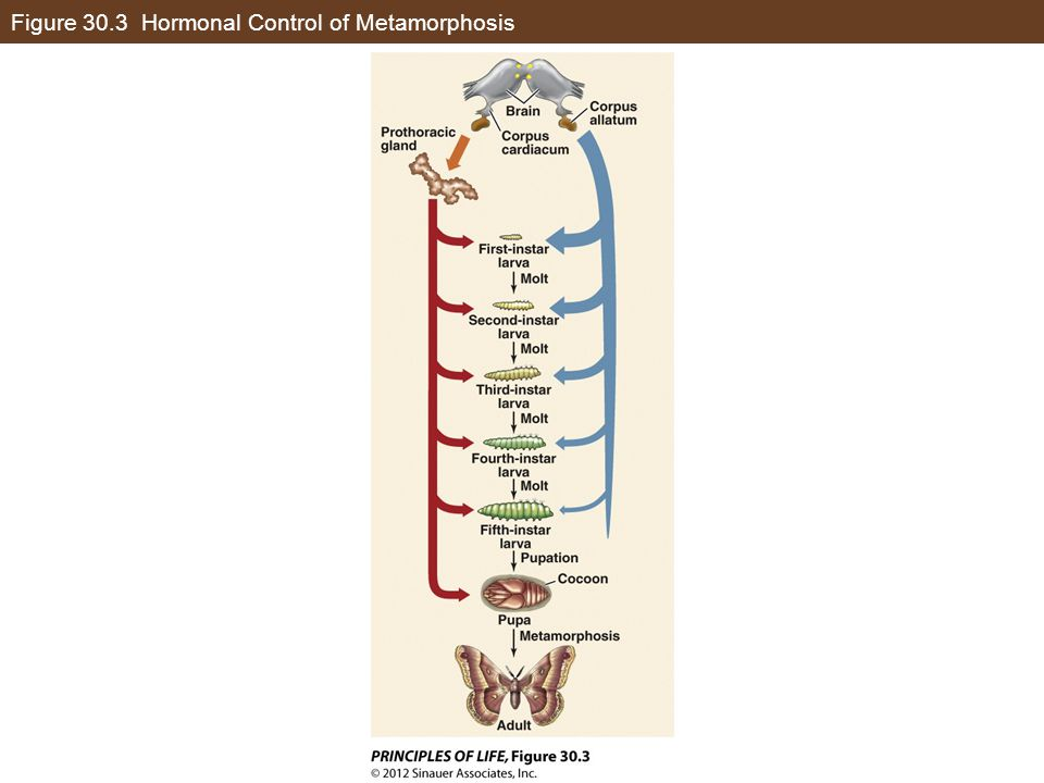 Figure 30.3 Hormonal Control of Metamorphosis