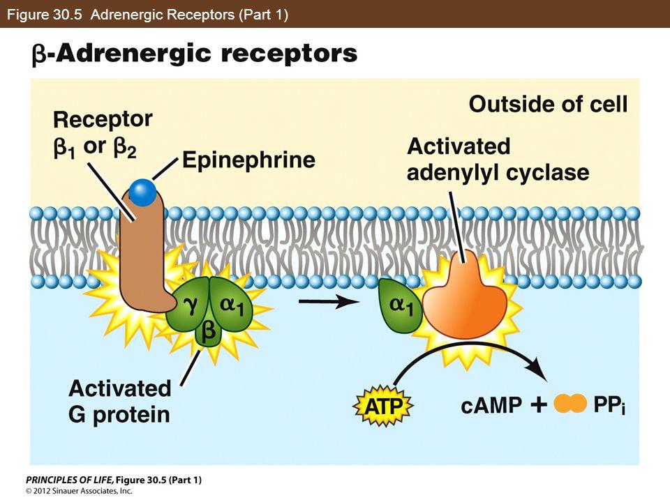 Figure 30.5 Adrenergic Receptors (Part 1)
