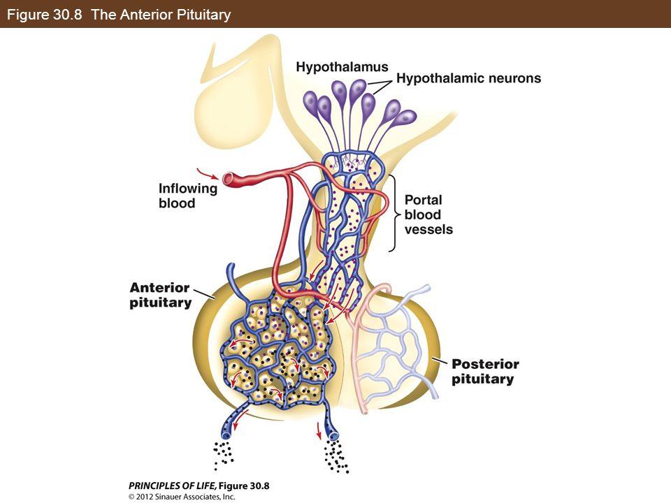 Figure 30.8 The Anterior Pituitary