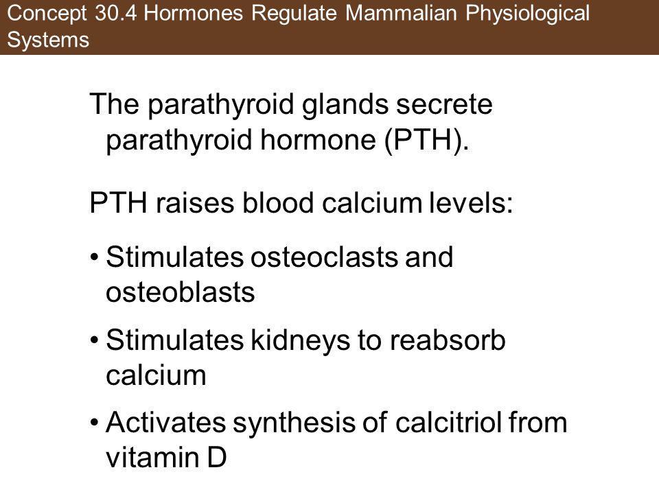Concept 30.4 Hormones Regulate Mammalian Physiological Systems The parathyroid glands secrete parathyroid hormone (PTH). PTH raises blood calcium leve