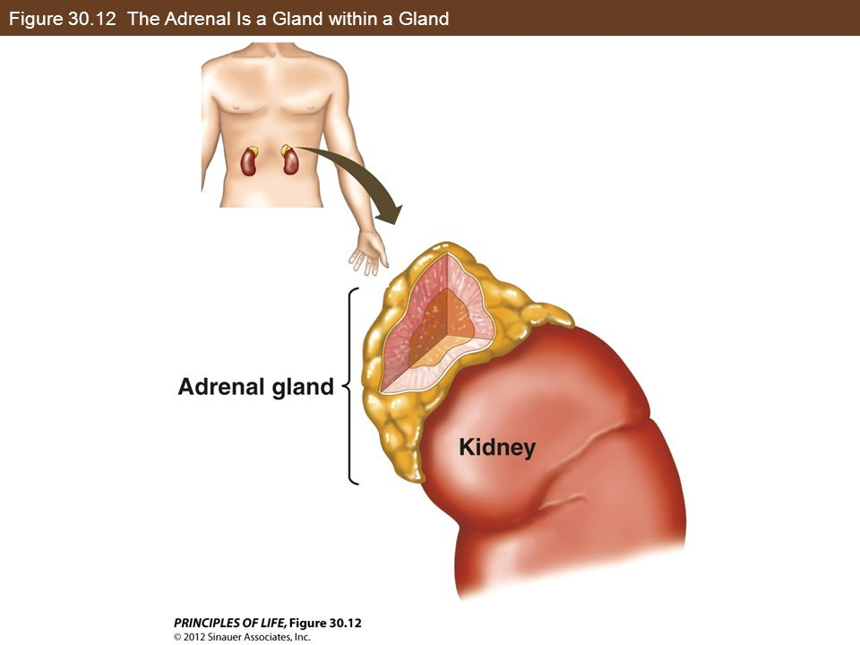 Figure 30.12 The Adrenal Is a Gland within a Gland