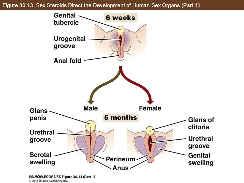 Figure 30.13 Sex Steroids Direct the Development of Human Sex Organs (Part 1)