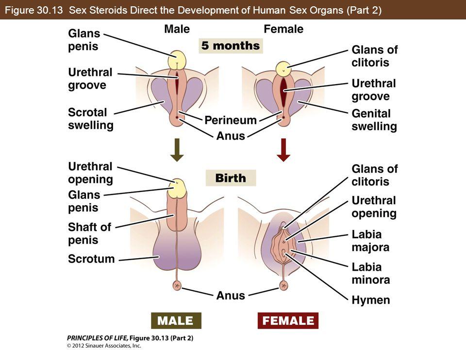 Figure 30.13 Sex Steroids Direct the Development of Human Sex Organs (Part 2)