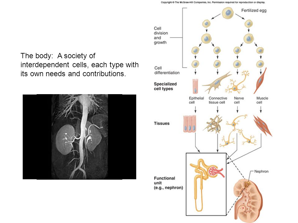 The body: A society of interdependent cells, each type with its own needs and contributions.