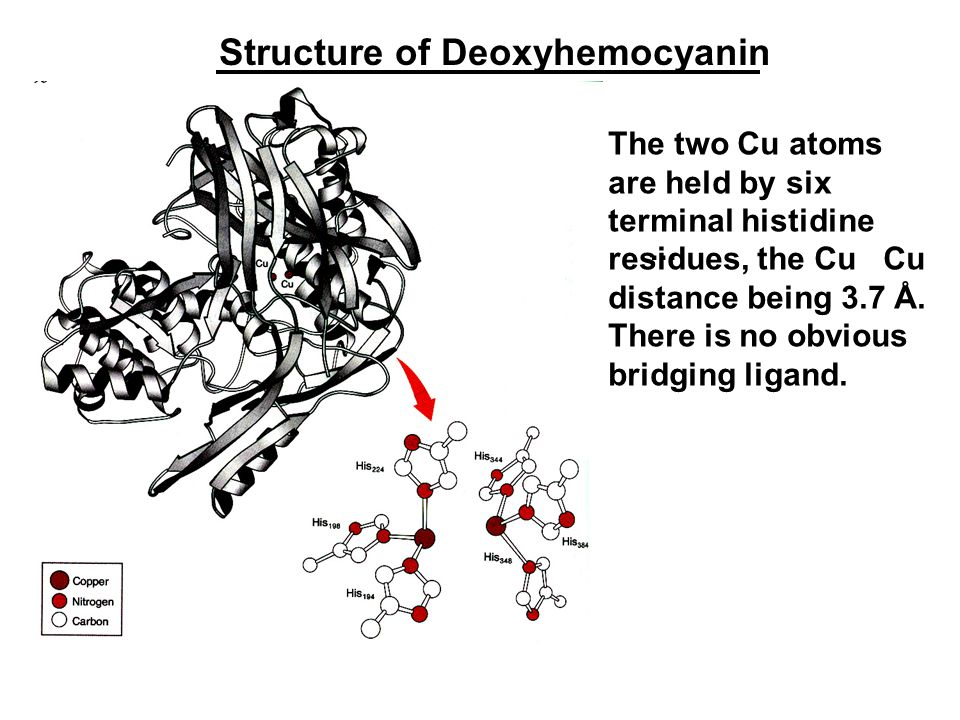 Structure of Deoxyhemocyanin The two Cu atoms are held by six terminal histidine residues, the Cu Cu distance being 3.7 Å.
