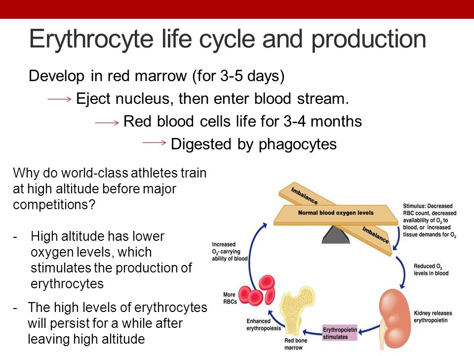 Erythrocyte life cycle and production Develop in red marrow (for 3-5 days) Eject nucleus, then enter blood stream.