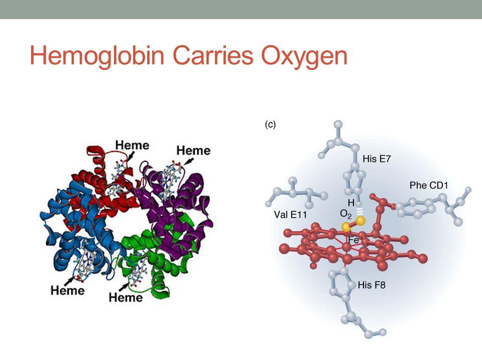 Hemoglobin Carries Oxygen