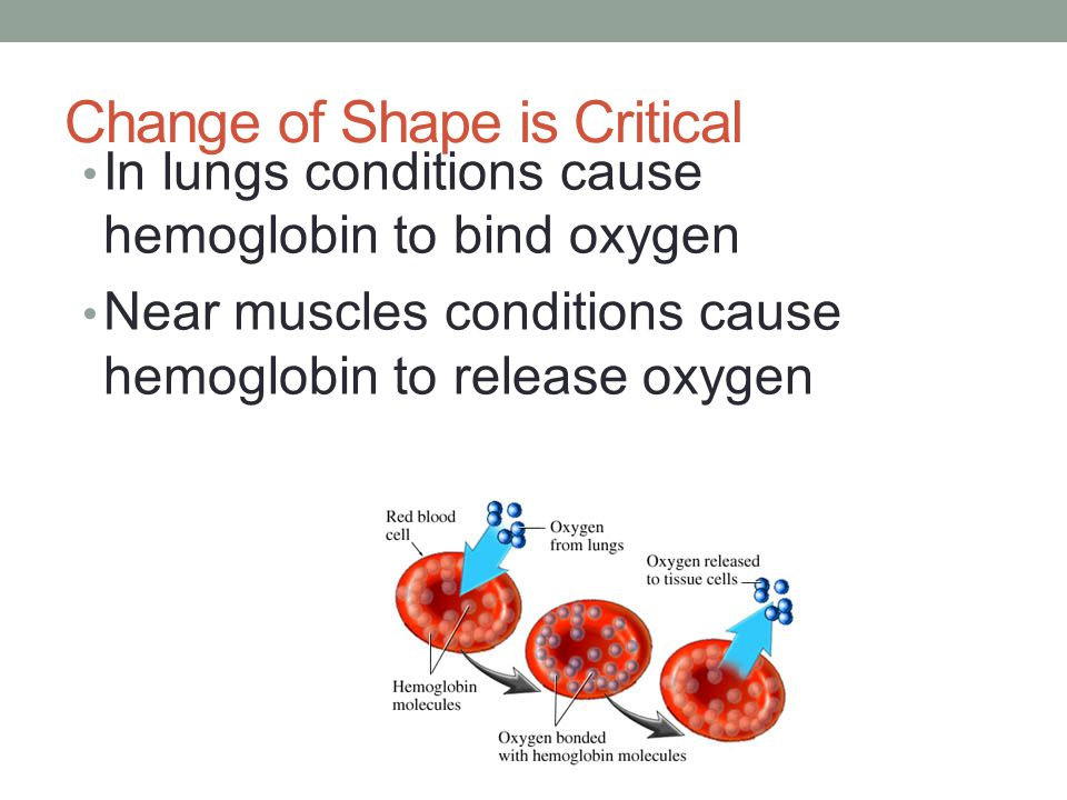Change of Shape is Critical In lungs conditions cause hemoglobin to bind oxygen Near muscles conditions cause hemoglobin to release oxygen