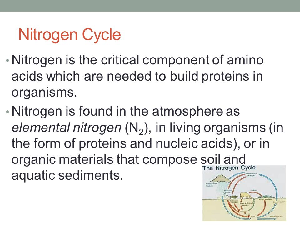 Nitrogen Cycle Nitrogen is the critical component of amino acids which are needed to build proteins in organisms. Nitrogen is found in the atmosphere