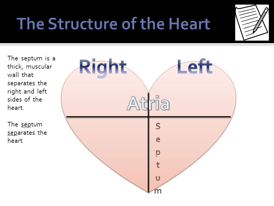 The septum is a thick, muscular wall that separates the right and left sides of the heart. The septum separates the heart