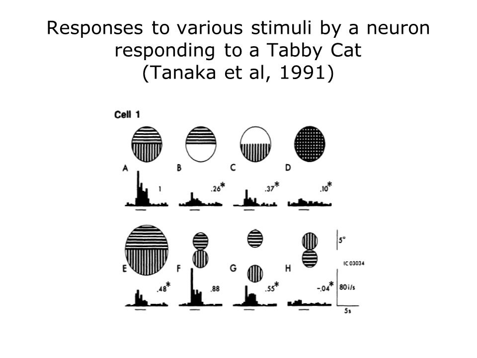 Responses to various stimuli by a neuron responding to a Tabby Cat (Tanaka et al, 1991)