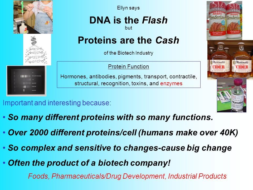 Flash Cash Ellyn says DNA is the Flash but Proteins are the Cash of the Biotech Industry Important and interesting because: So many different proteins with so many functions.