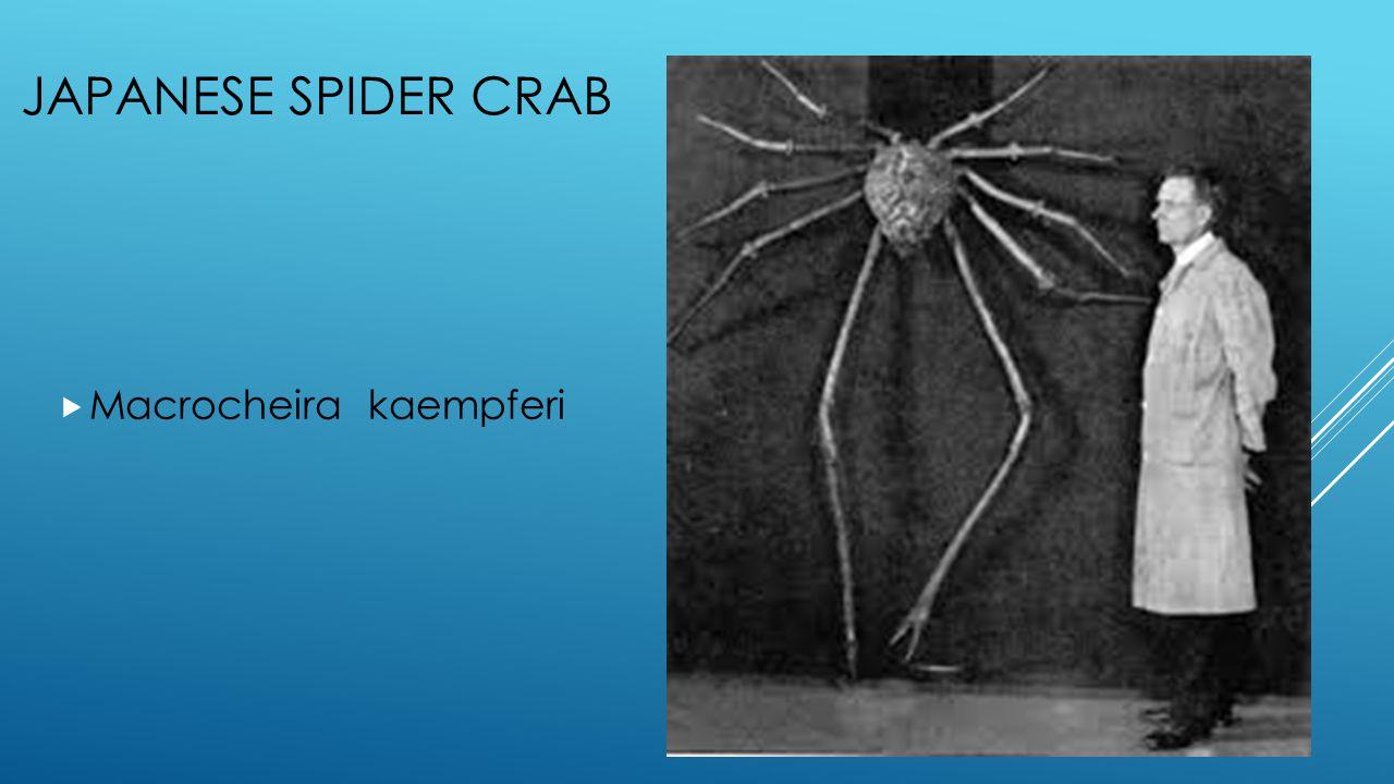JAPANESE SPIDER CRAB  Macrocheira kaempferi