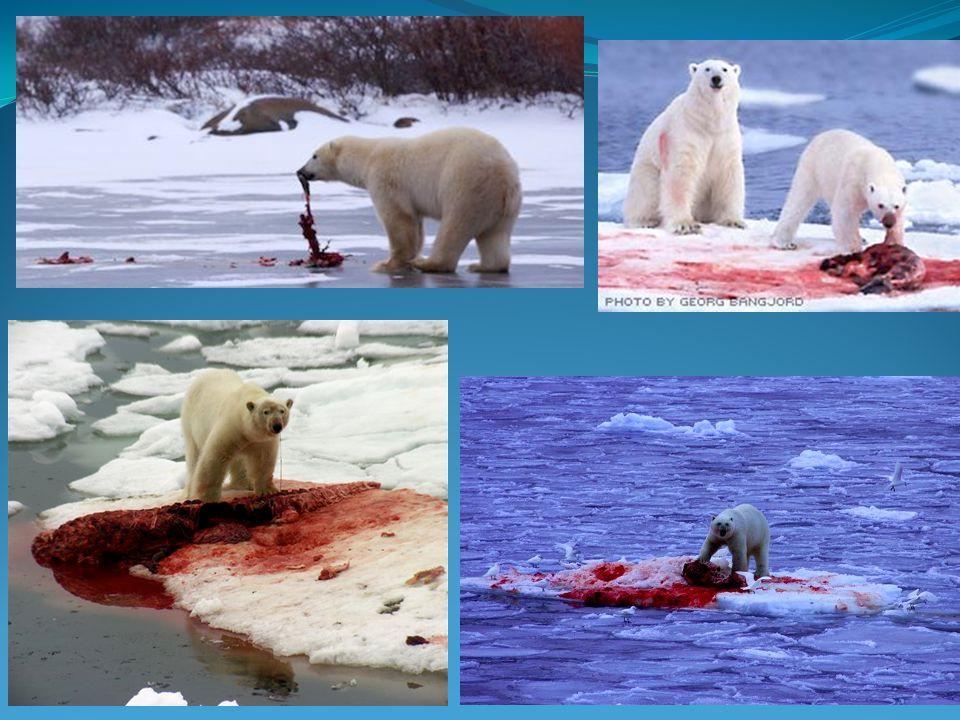 Polar bears have no natural predators – besides other polar bears.