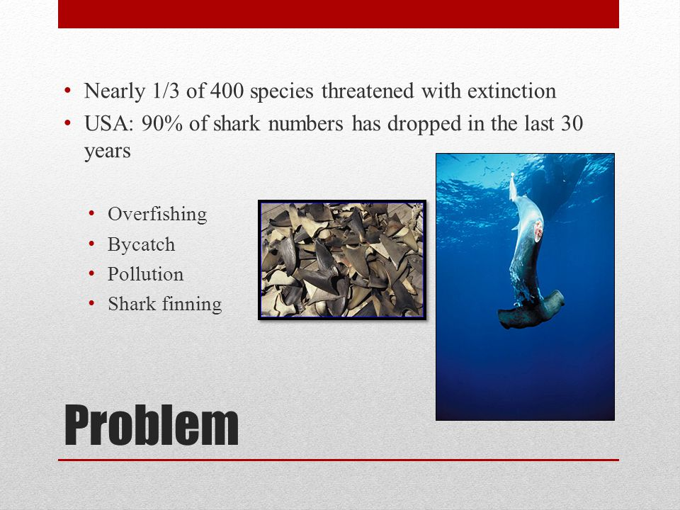 Problem Nearly 1/3 of 400 species threatened with extinction USA: 90% of shark numbers has dropped in the last 30 years Overfishing Bycatch Pollution Shark finning