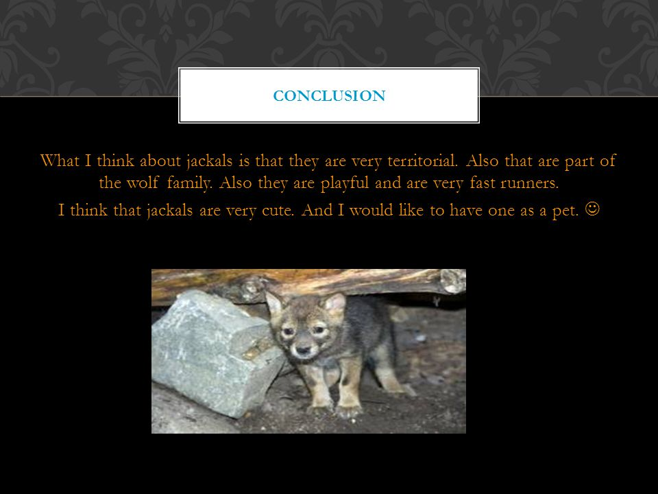 What I think about jackals is that they are very territorial.