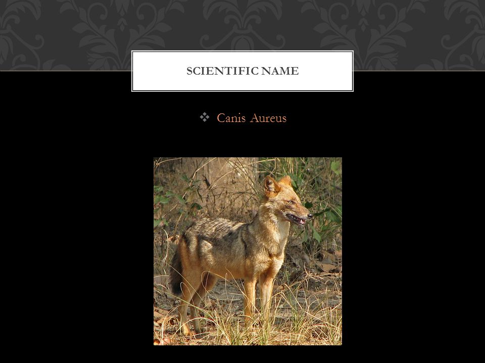  Canis Aureus SCIENTIFIC NAME