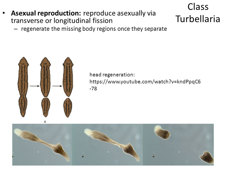 Asexual reproduction: reproduce asexually via transverse or longitudinal fission – regenerate the missing body regions once they separate Class Turbel