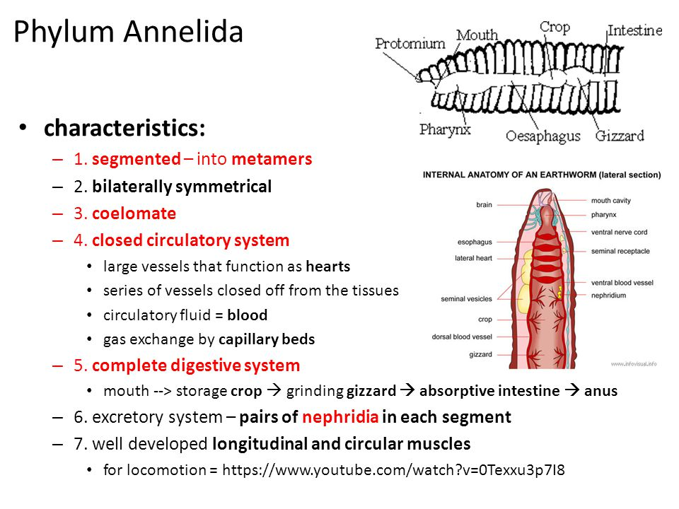 Phylum Annelida characteristics: – 1. segmented – into metamers – 2. bilaterally symmetrical – 3. coelomate – 4. closed circulatory system large vesse