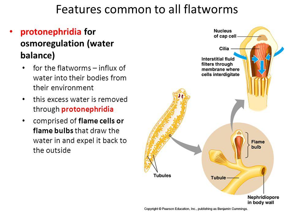 Class Turbellaria free-living flatworms – e.g.