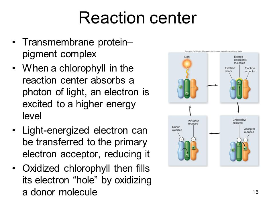 Reaction center Transmembrane protein– pigment complex When a chlorophyll in the reaction center absorbs a photon of light, an electron is excited to a higher energy level Light-energized electron can be transferred to the primary electron acceptor, reducing it Oxidized chlorophyll then fills its electron hole by oxidizing a donor molecule 15