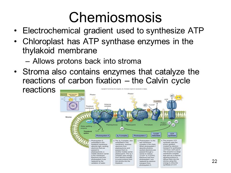 Chemiosmosis Electrochemical gradient used to synthesize ATP Chloroplast has ATP synthase enzymes in the thylakoid membrane –Allows protons back into stroma Stroma also contains enzymes that catalyze the reactions of carbon fixation – the Calvin cycle reactions 22