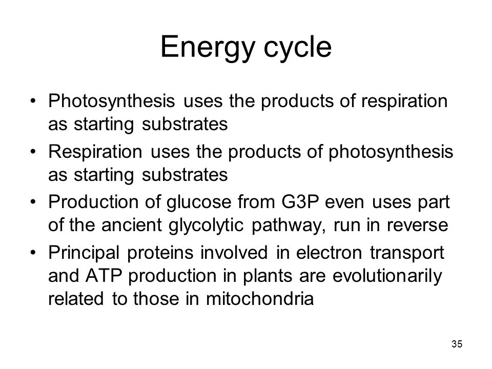 35 Energy cycle Photosynthesis uses the products of respiration as starting substrates Respiration uses the products of photosynthesis as starting substrates Production of glucose from G3P even uses part of the ancient glycolytic pathway, run in reverse Principal proteins involved in electron transport and ATP production in plants are evolutionarily related to those in mitochondria