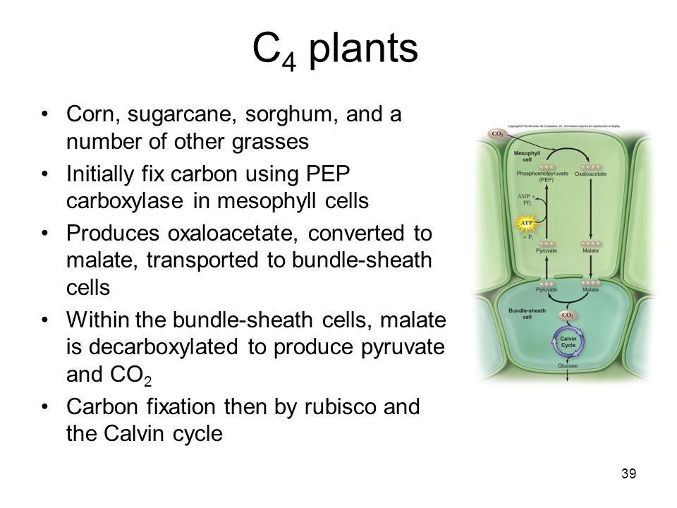 39 C 4 plants Corn, sugarcane, sorghum, and a number of other grasses Initially fix carbon using PEP carboxylase in mesophyll cells Produces oxaloacet