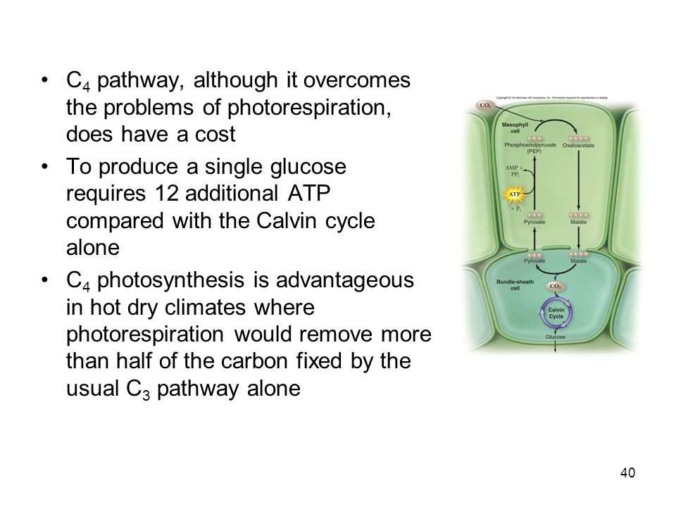 C 4 pathway, although it overcomes the problems of photorespiration, does have a cost To produce a single glucose requires 12 additional ATP compared with the Calvin cycle alone C 4 photosynthesis is advantageous in hot dry climates where photorespiration would remove more than half of the carbon fixed by the usual C 3 pathway alone 40