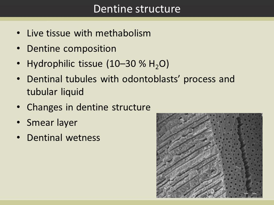 Dentine structure Live tissue with methabolism Dentine composition Hydrophilic tissue (10–30 % H 2 O) Dentinal tubules with odontoblasts' process and tubular liquid Changes in dentine structure Smear layer Dentinal wetness
