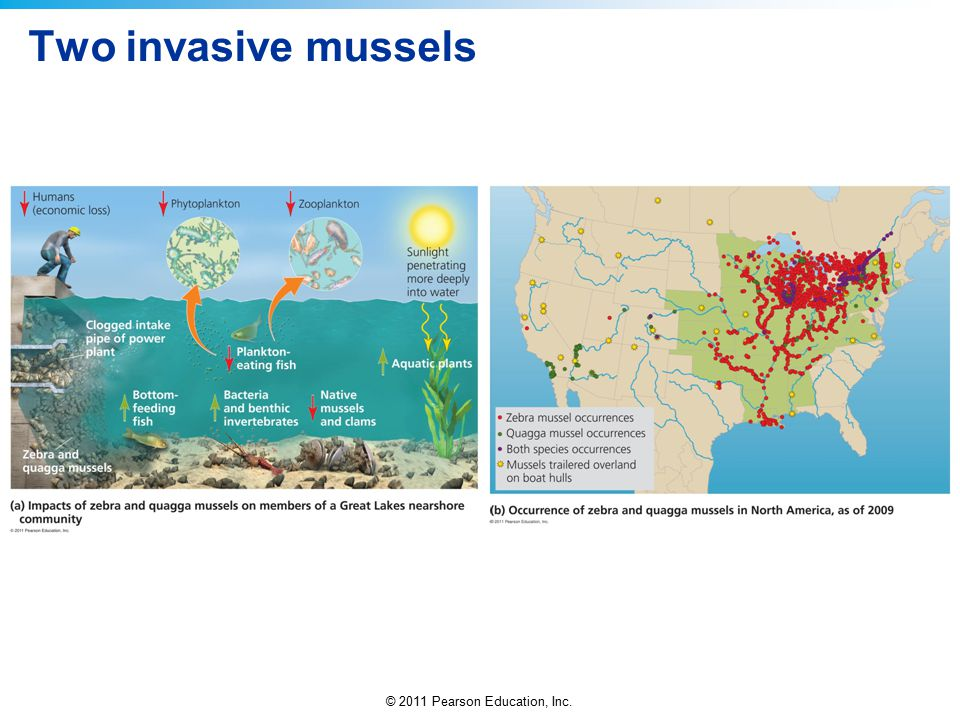 © 2011 Pearson Education, Inc. Two invasive mussels